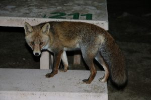 Fuchs in Andalusien