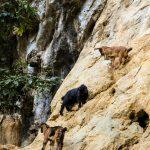 kletternde Ziegen